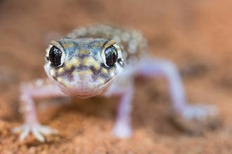 Native gecko photographed on a course